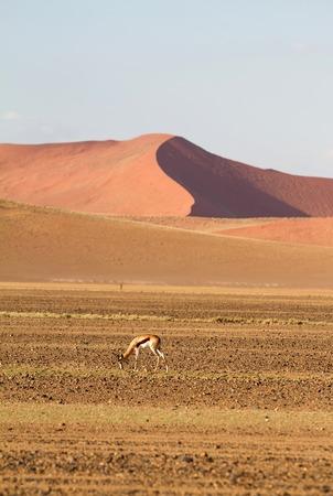 springbok: A springbok in the  sand dunes of Sossusvlei park, Namibia
