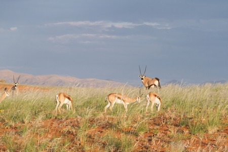 springbok: Some springbok and oryx are eating hidden in high grass, Namibia