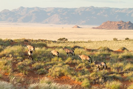Some oryx are eating hidden in high grass of a beautiful landscape, Namibia