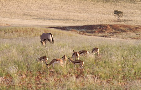 Some springbok and oryx are eating hidden in high grass, Namibia photo