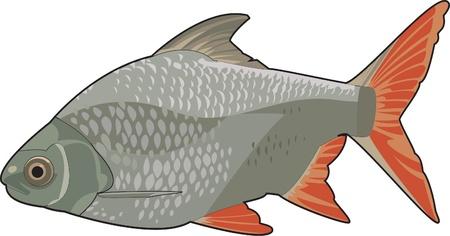 red fin barb Иллюстрация