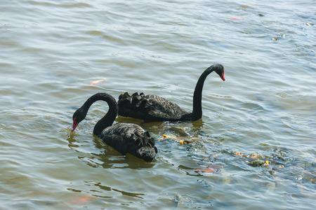 Swan Stock Photo