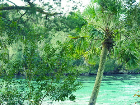 Silver Springs palm water