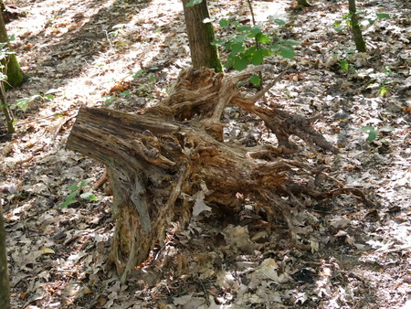 Tree stump with roots in the deciduous forest