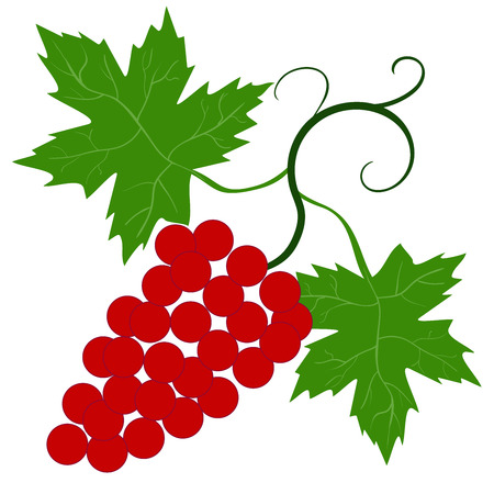 grapes on vine: Decorative grapes  vine vector ornament 2