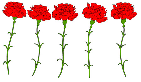 Beautiful red carnation isolated Vector