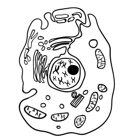 phylum: Paramecium of the phylum Ciliophora. Vector Illustration