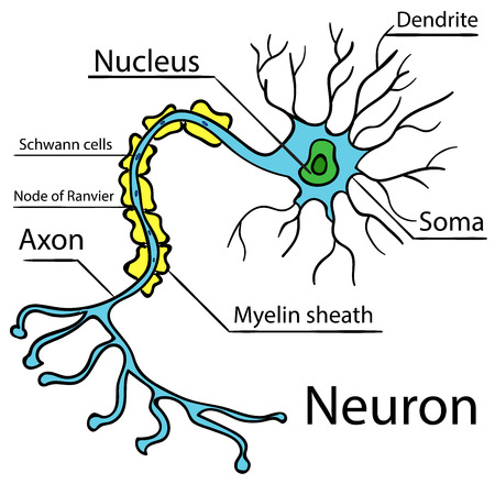 Anatomy of a typical human neuron (axon, synapse, dendrite, mitochondrion,  myelin  sheath, node Ranvier and Schwann cell). Vector diagram Vector 2 Vectores