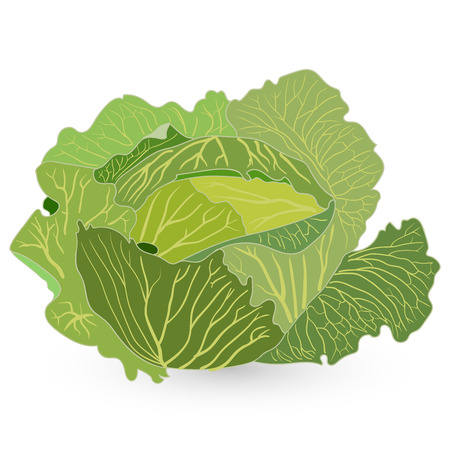Cabbage. Vector illustration. Image rgeen on white