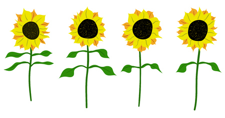 flora: Sunflower vector flower pedicle nature illustration yellow summer bright natural flora beautiful