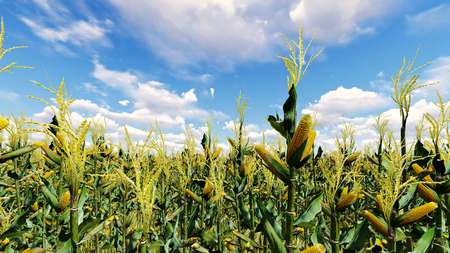 Corn field with blue sky 3D render