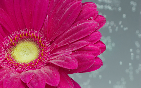 Red gerbera under air bubbles Stock Photo