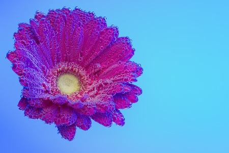 Red gerbera under air bubbles on blue Stock Photo