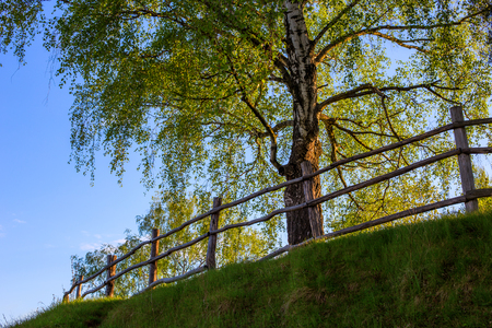 barnwood fence on hill with birch tree upward view