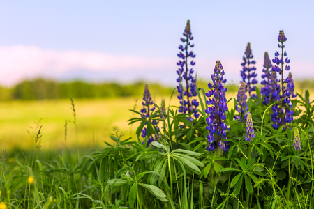 lupines in field with selective focus