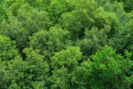 top of summer green linden forest solid foliage pattern background at daylight