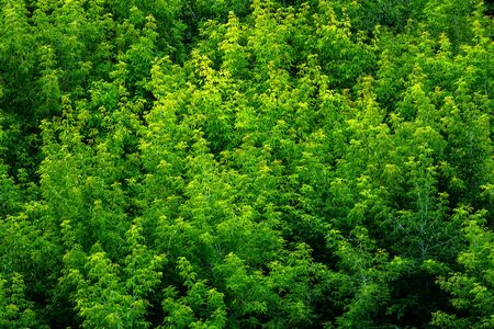 top of summer green ash-tree forest solid foliage pattern background at daylight