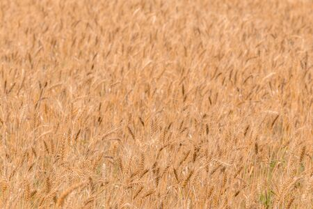 Yellow barley field at daytime under direct sunlight. Fully filled agriculture background with selective focus and blur.