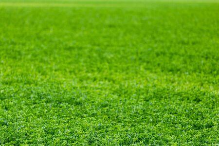 horizontloser und kantenloser landwirtschaftlicher Hintergrund der grünen Wiese mit selektivem Fokus und Unschärfe.