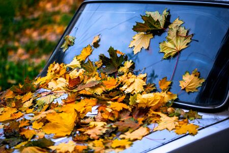 a lot of fallen maple leaves on old car bonnet - close up autumn background with selective focus