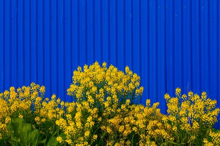 Barbarea vulgaris or Yellow Rocket or Garden yellowrocket flowers on blurry blue fence background. Strong opposite colors contrast.