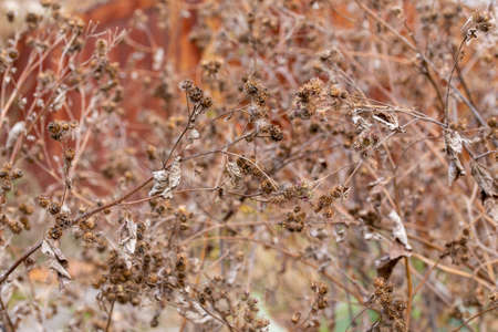 dry burdock thickets at daylight, close-up with selective focus