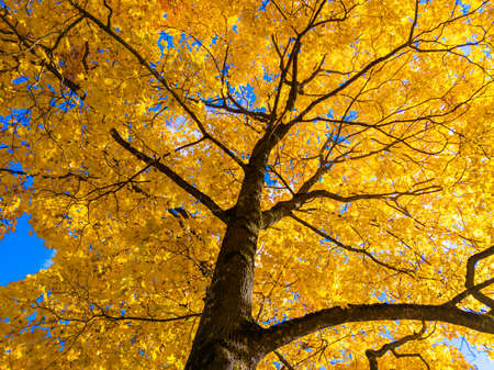 autumn vivid yellow maple tree on blue sky background - full frame upward view from below