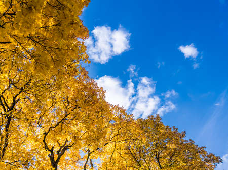 autumn vivid yellow maple trees foliage on blue sky with white clouds background - full frame upward view from below Stock fotó