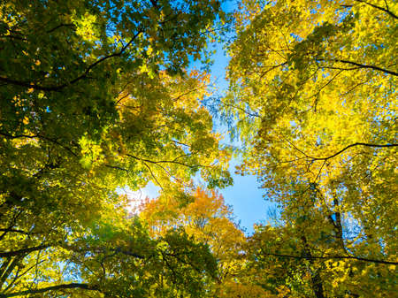 autumn vivid yellow and green maple trees on blue sky background - full frame upward view from below