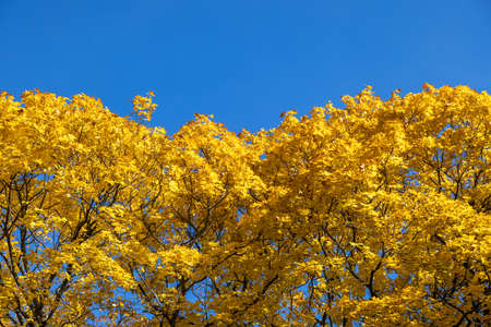 yellow maple trees on clear blue sky background