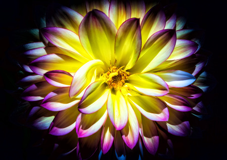 A yellow and pink Dahlia on a blackbackground.