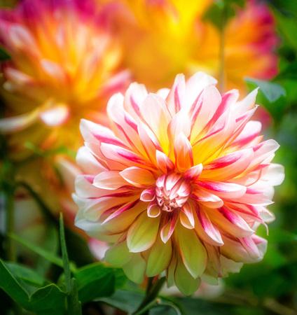 Een witte, roze en gele Dahlia met een vage achtergrond.