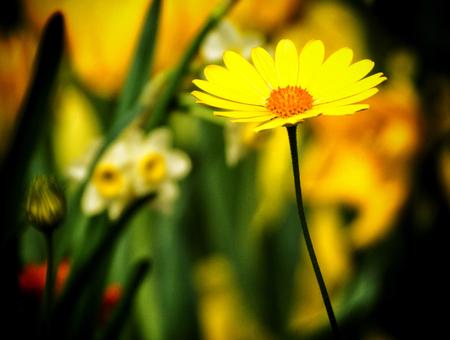 Yelow Daisy close-up on a soft background. Stock Photo