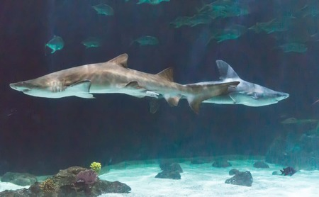 Two sharks swimming in aquarium at Point Defiance Zoo, Tacoma, Washington. Editorial
