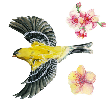watercolor drawing on the theme of spring, heat, illustration of a bird of the order of the passerine-looking Orioles flying, with open wings, feathers, with yellow plumage, hyperrealism, with cherry