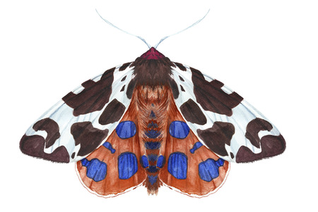 Watercolor drawing of an insect night butterfly, moth, Dipper reddish-brown, beautiful wings, furry, animal, print, decor, design Zdjęcie Seryjne
