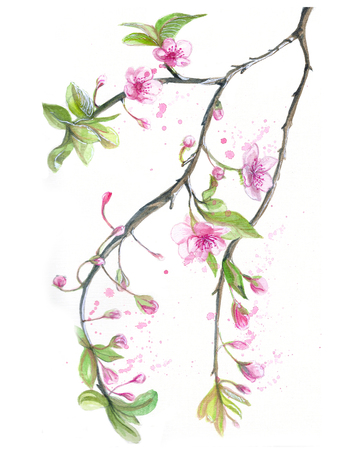 Watercolor drawing of cherry cherry blossoms cherry blossoms
