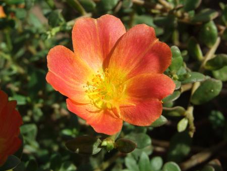 plantae: flower