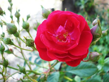 plantae: rose