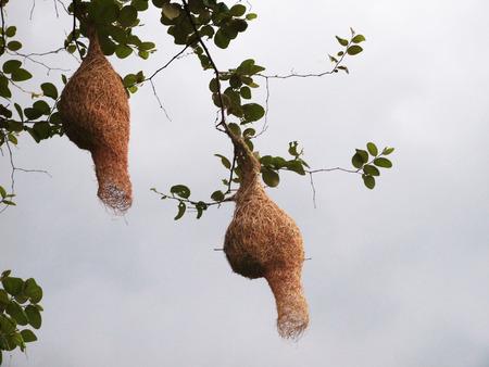 nido de pajaros: nido de p�jaros