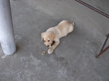 bowwow: Labrador dogs