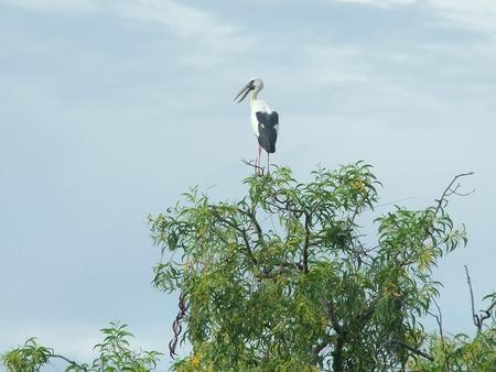 anastomus: Open-billed stork Stock Photo