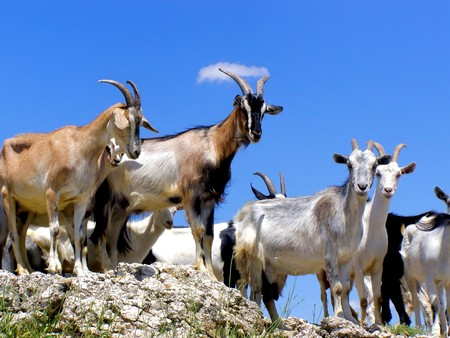 chèvres: Troupeau de ch�vres sur le haut de la montagne Banque d'images