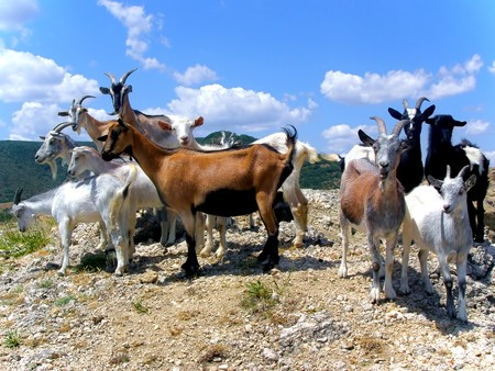 Herd of the Goats on the Top of the Mountain Stock Photo - 4560762