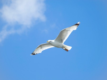 baptize: A seagull, soaring in the blue sky Stock Photo