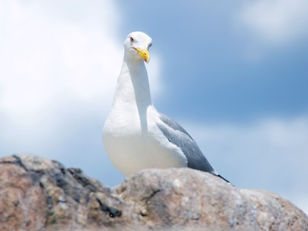 wingspread: Close-up of a seagull sitting on the rock Stock Photo