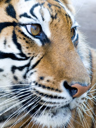 closeup portrait of tiger`s face photo