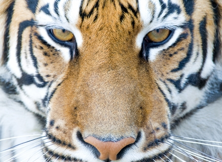 closeup portrait of tiger`s face Stock Photo - 7561593