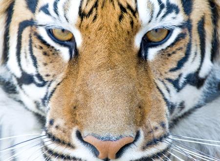closeup portrait of tiger`s face Stock Photo
