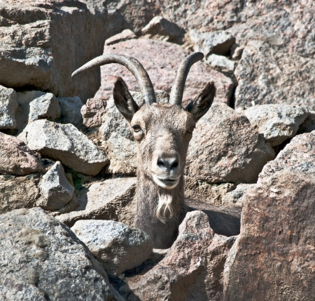 Mountain goat male among the rocks Stock Photo - 17126205